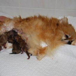 Помощь в родах собак и кошек