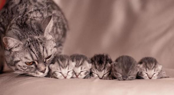 Как протекает беременность у кошки