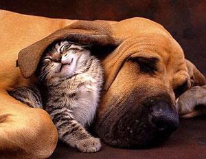 Если у собаки или кошки болят уши