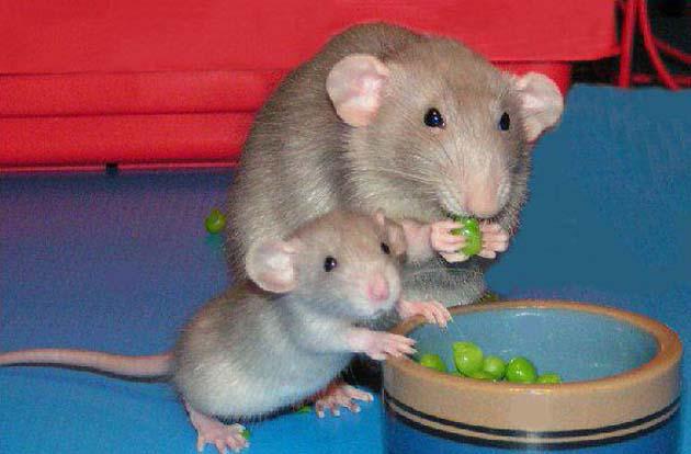 Как содержать декоративную крысу