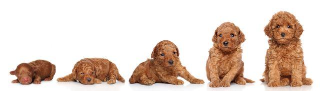 Этапы развития миниатюрной пудельной собаки слева 2 дня, 2 недели, 3 недели, 4 недели, 6 недель